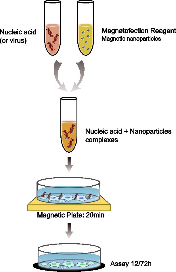 Magnétofection