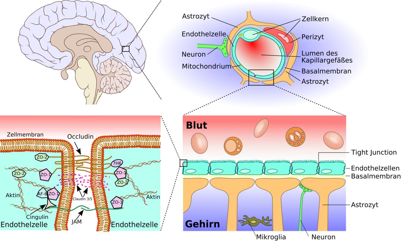 La barrière hémato-encéphalique. Dans le sens des aiguilles d'une montre, agrandissements successifs - cerveau, capillaire, barrière, endothélium